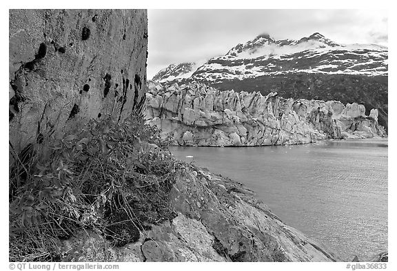 Rock ledge with dwarf fireweed, Lamplugh glacier, and Mt Cooper. Glacier Bay National Park (black and white)