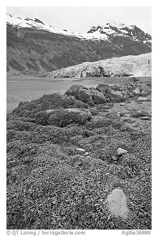 Beach with seaweed exposed at low tide in Reid Inlet. Glacier Bay National Park (black and white)