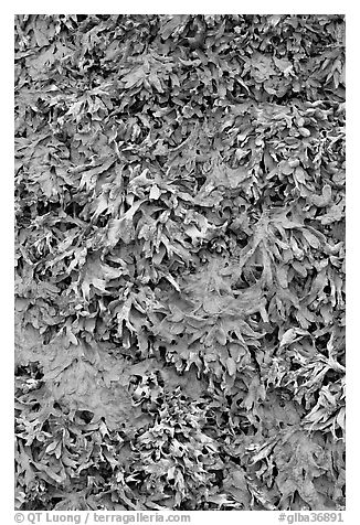 Seaweed close-up. Glacier Bay National Park (black and white)