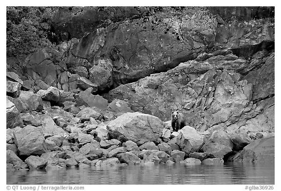 Grizzly bear and boulders by the water. Glacier Bay National Park (black and white)