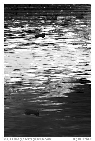 Icebergs and ripples at sunset, Tarr Inlet. Glacier Bay National Park (black and white)