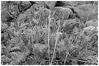 Fireweed and boulders. Glacier Bay National Park, Alaska, USA. (black and white)