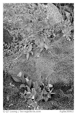 Moss, dwarf fireweed, and rock. Glacier Bay National Park (black and white)