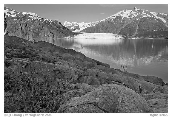 Dwarf fireweed, with Mount Fairweather and Margerie Glacier across bay. Glacier Bay National Park (black and white)