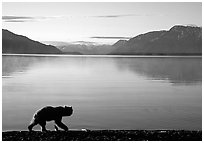 Alaskan Brown bear (Ursus arctos) on the shore of Naknek lake. Katmai National Park, Alaska, USA. (black and white)