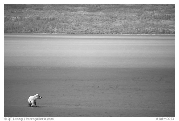 Brown bear in shallows waters of Naknek lake. Katmai National Park (black and white)