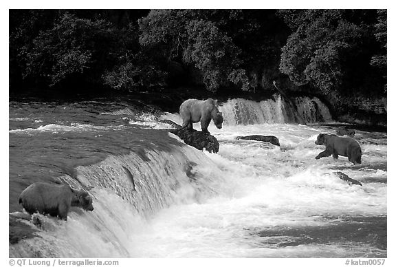 Overview of Brown bears fishing at the Brooks falls. Katmai National Park (black and white)