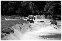 Overview of Brown bears fishing at the Brooks falls. Katmai National Park, Alaska, USA. (black and white)