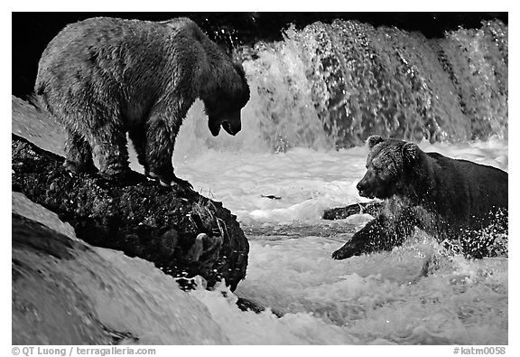 Brown bears fishing at the Brooks falls. Katmai National Park (black and white)
