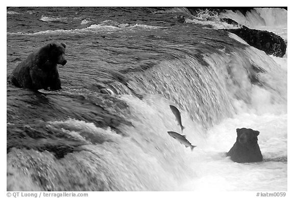 Salmon leaping and Brown bears fishing at the Brooks falls. Katmai National Park (black and white)