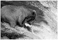 Brown bear (Ursus arctos) catching leaping salmon at Brooks falls. Katmai National Park, Alaska, USA. (black and white)