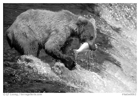 Alaskan Brown bear catching leaping salmon at Brooks falls. Katmai National Park (black and white)