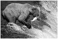 Alaskan Brown bear catching leaping salmon at Brooks falls. Katmai National Park, Alaska, USA. (black and white)