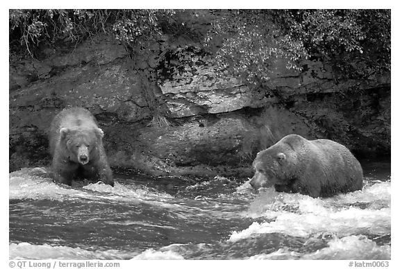 Brown bears (scientific name: ursus arctos) fishing at the Brooks falls. Katmai National Park (black and white)