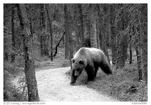 Brown bears encounters on trail are frequent at Brooks camp. Katmai National Park (black and white)