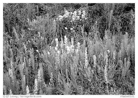 Orchids and Yellow paintbrush. Katmai National Park (black and white)