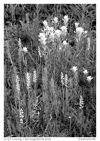 Yellow paintbrush and orchid flowers. Katmai National Park (black and white)