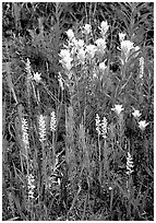 Yellow paintbrush and orchid flowers. Katmai National Park, Alaska, USA. (black and white)