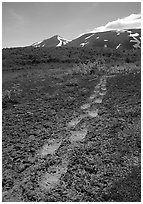 Big bear tracks in the ash, Valley of Ten Thousand smokes. Katmai National Park, Alaska, USA. (black and white)