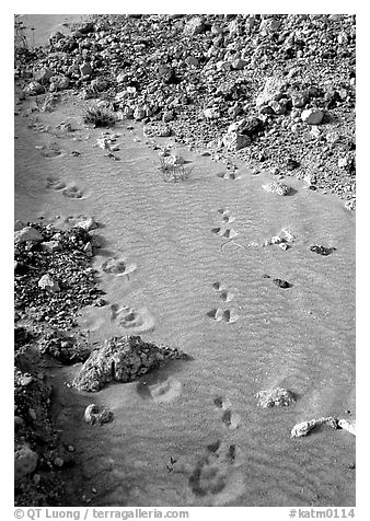 Close-up of animal tracks in fine ash, Valley of Ten Thousand smokes. Katmai National Park (black and white)