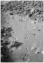 Close-up of animal tracks in fine ash, Valley of Ten Thousand smokes. Katmai National Park ( black and white)