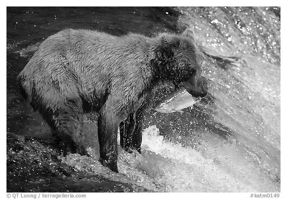 Brown bear holding in mounth  salmon at Brooks falls. Katmai National Park (black and white)