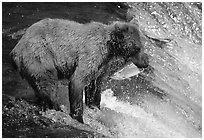 Brown bear holding in mounth  salmon at Brooks falls. Katmai National Park, Alaska, USA. (black and white)