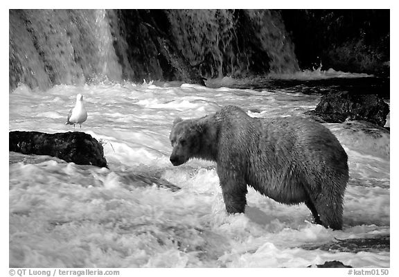 Brown bear and bird at the base of Brooks falls. Katmai National Park (black and white)
