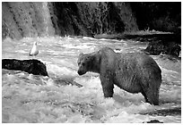 Brown bear and bird at the base of Brooks falls. Katmai National Park, Alaska, USA. (black and white)