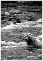 Alaskan Brown bear (Ursus arctos) fishing for salmon at Brooks falls. Katmai National Park, Alaska, USA. (black and white)