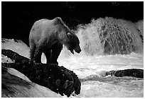 Brown bear standing on rock at Brooks falls. Katmai National Park, Alaska, USA. (black and white)
