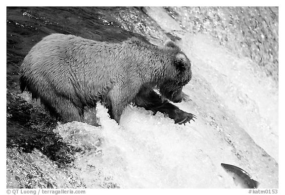 Brown bear extending leg to catch jumping salmon at Brooks falls. Katmai National Park (black and white)