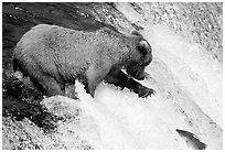 Brown bear extending leg to catch jumping salmon at Brooks falls. Katmai National Park, Alaska, USA. (black and white)
