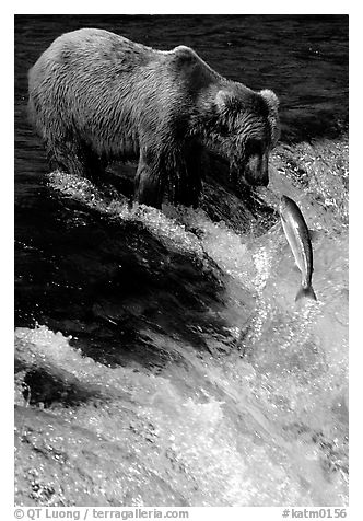 Brown bear (Ursus arctos) and leaping salmon at Brooks falls. Katmai National Park (black and white)