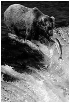 Brown bear (Ursus arctos) and leaping salmon at Brooks falls. Katmai National Park ( black and white)