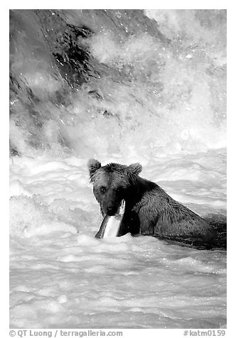 Alaskan Brown bear (scientific name: ursus arctos) chewing salmon at the base of Brooks falls. Katmai National Park (black and white)