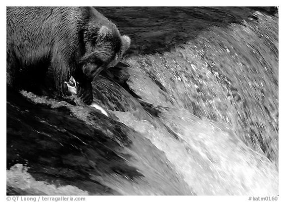 Brown bear (Ursus arctos) holding salmon with leg at Brooks falls. Katmai National Park (black and white)