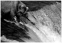 Brown bear (Ursus arctos) holding salmon with leg at Brooks falls. Katmai National Park, Alaska, USA. (black and white)