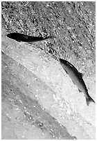 Leaping salmon at Brooks falls. Katmai National Park ( black and white)