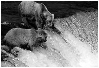 Two Brown bears trying to catch leaping salmon at Brooks falls. Katmai National Park, Alaska, USA. (black and white)