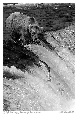 Brown bear watching a salmon jumping out of catching range at Brooks falls. Katmai National Park (black and white)