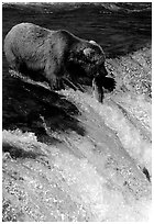 Alaskan Brown bear with caught salmon at Brooks falls. Katmai National Park, Alaska, USA. (black and white)