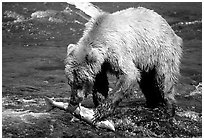 Brown bear (scientific name: ursus arctos) eating salmon at Brooks falls. Katmai National Park, Alaska, USA. (black and white)