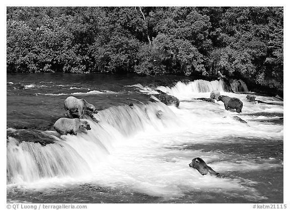Brown bears gathering at Brooks Falls. Katmai National Park (black and white)