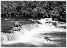 Brown bears gathering at Brooks Falls. Katmai National Park, Alaska, USA. (black and white)
