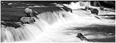 Alaskan Brown bears gathered at Brooks Falls. Katmai National Park (Panoramic black and white)