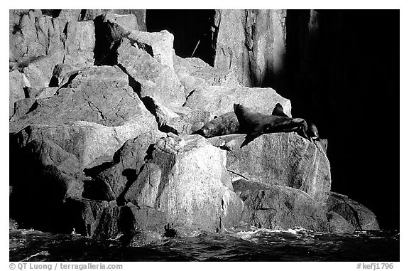 Sea lions in Aialik Bay. Kenai Fjords National Park (black and white)