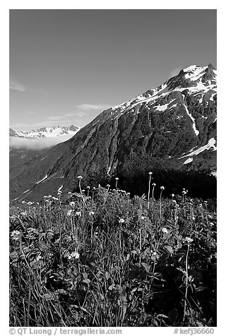 Wildflowers and peak. Kenai Fjords National Park (black and white)