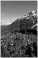 Wildflowers and peak. Kenai Fjords National Park, Alaska, USA. (black and white)