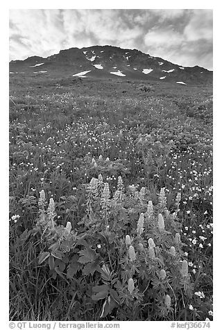 Lupine, buttercups, and rocky ridge. Kenai Fjords National Park (black and white)